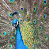 Peacocks are largely blue with a tinge of translucent green which shows heavily in the sunlight. Males tail feathers are long, ranging from 30cm - 100cm in length. They are bright green with leafy particles all the way up and have an 'eye' at the top. The female peacock is slightly less ecstatic with only a stumpy tale and shabbier colours.Peacocks have a crest of 10 or so small eye-topped feathers on their head.