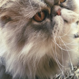Hope. 19 months. Pure breed Persian.
