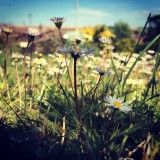 Daisies in the garden, low angle