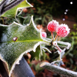 Frost on holly