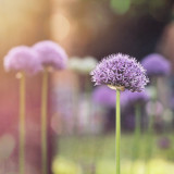 Alliums in bloom