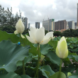 Lotus in Macau