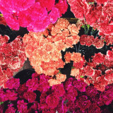 Many pink carnations.
