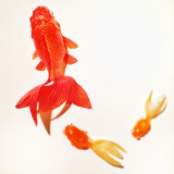 Goldfish against a white background