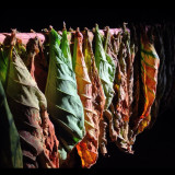 The tobacco curing process. As the leaves dry they transform from green to yellow to red, and finally brown.