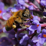 Bees and buddleia