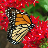 Beautiful Monarch!