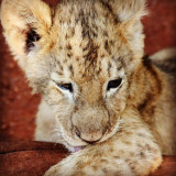 Cute lion cub in South Africa