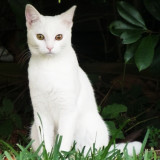 Allora, solid white, 10 months old, thin frame, has all of her claws, no collar, missing from Lake Jackson, TX since 7-13-14.