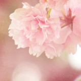 Pastel pink flower blossoms hanging from a tree in spring.  Shabby chic, floral, and dreamy.