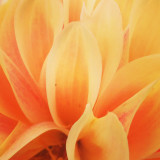 Just a close up of one of the dahlias that are in my garden. A beauty...
