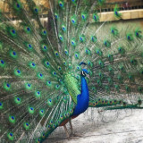 Peacock showing off his feathers.