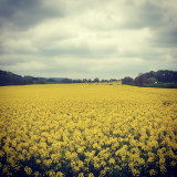 A North Yorkshire rape seed oil crop in the spring time, not far from Mount Grace Priory.