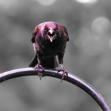 Gothic Grackle - I've been fighting the battle of the Grackle this spring. So I figured if I can't shoo them from my feeders, I guess I might as well take pix of them!! The original angry bird...