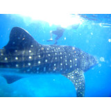 #animal #whale #shark #butanding #oslob #philippines