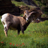 Big Horn in Glacier National Park