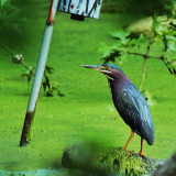 Green Heron, a rare find (for me!) at the Lotus Pond at Cincinnati Nature Center.