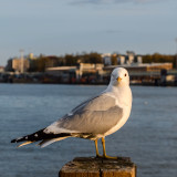 Gull in a port in sunset light, Helsinki