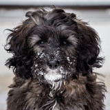 This is my cockapoo puppy Biscuit after she was playing in the snow.