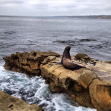 Sea lion, La Jolla, Ca