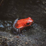 Poisonous from from Costa Rica - red