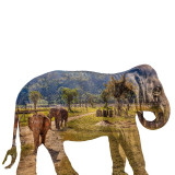 Double-exposure of Asian elephant(s) roaming an elephant nature preserve in Chiang Mai, Thailand. Unlike many of the elephant attractions in Thailand that offer elephant