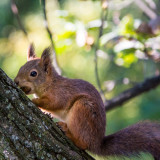 Eurasian red squirrel in the autumn forest