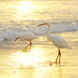Snowy egrets play in the liquid gold of the sunrise. South Daytona, Florida.