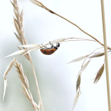 Ladybug on a straw of dry grass.