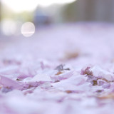 Cherry blossoms on the ground
