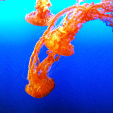 So beautiful and graceful.., I could watch these Jellyfish all day!