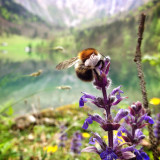 Humble-bee at Obersee