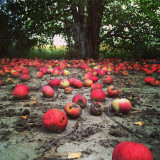 Apples rot on the ground in an Idaho apple orchard in Autumn.