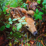 Fawns! 2 hrs old.