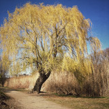 Willow Tree in Fenway Victory Gardens - April 24th 2014