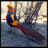 This is a beautiful Golden Pheasant of China.