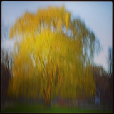 A willow tree with spring green leaves beginning to show, taken at sunset in Impressionism style.