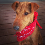 Jane, the Irish Terrier