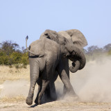 Two male 'bull' elephants (Loxodonta africana) fighting. The Savuti region of northern Botswana.