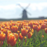 Tulips in Holland with a windmill on the background 🌷🌷🌷