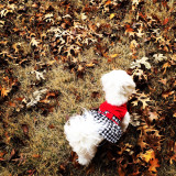 Molly the Maltese playing in the fall leaves