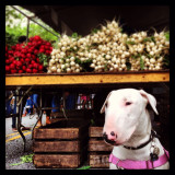 Bullterrier at farmers market in Brooklyn NYC.