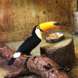 Toucan at the zoo