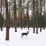 Deer in forest.