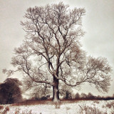 White winter tree - magnificent tree situated behind my house in Herefordshire, UK. This photo was shot on an iPhone 4s following a heavy winter snowfall.