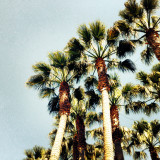 Clustered king palms against a light blue sky.