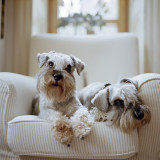 Two miniature schnauzers on the armchair th