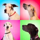 Fostered Great Danes in need of forever homes at Indian Danes. ❤️❤️❤️