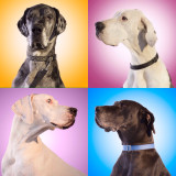Fostered Great Danes looking for homes at Indian Danes. They need forever homes and ❤️❤️❤️❤️