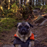 My best friend, Mack the Adventure Pug